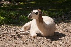 Лама - glama лама Стоковые Изображения RF