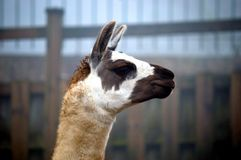 Лама, glama лама Изолированный, шея Стоковые Фотографии RF