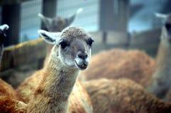 Лама, glama лама , шея Стоковое фото RF