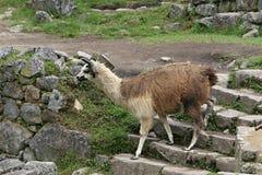 Лама Machu Picchu Стоковая Фотография