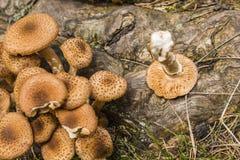 Ламелла грибка меда Стоковая Фотография RF