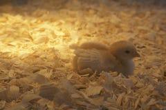 Лампа жары греет Newborn цыпленок отдыхая в своем курятнике Стоковые Фото