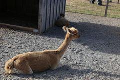 Ламы, альпака Стоковая Фотография RF