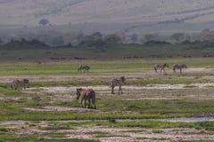 Ландшафты с зебрами стоковое фото
