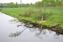 Ландшафт Бобры обрушились вниз с дерева Стоковое фото RF