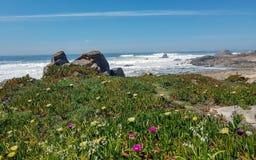 Ландшафт весны с зацветая дикими розовыми и желтыми цветками на побережье Атлантического океана, Португалии стоковые фотографии rf