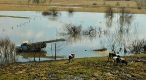 Ландшафт весны с коровами Стоковые Изображения