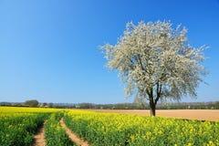 Ландшафт весны с полем рапса и вишневого дерева в солнечном дне Стоковые Фото