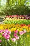 Ландшафт весны с multicolor тюльпанами против предпосылки голубые облака field wispy неба природы зеленого цвета травы белое Стоковое Изображение