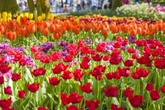 Ландшафт весны с multicolor тюльпанами против предпосылки голубые облака field wispy неба природы зеленого цвета травы белое Стоковые Изображения RF
