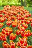 Ландшафт весны с multicolor тюльпанами против предпосылки голубые облака field wispy неба природы зеленого цвета травы белое Стоковое Изображение RF