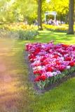 Ландшафт весны с multicolor тюльпанами против предпосылки голубые облака field wispy неба природы зеленого цвета травы белое Стоковые Фото