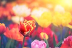 Ландшафт весны с multicolor тюльпанами стоковое изображение