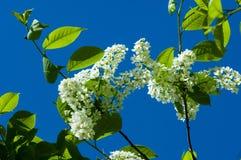 Ландшафт весны, цветки вишни птицы вишня 2007 птицы цветя может novosibirsk Стоковое Изображение