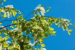 Ландшафт весны, цветки вишни птицы вишня 2007 птицы цветя может novosibirsk Стоковые Фото