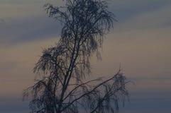 Ландшафт вечера зимы, дерево березы без листьев стоковое фото rf