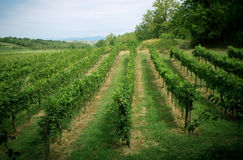 Ландшафт виноградника Стоковое Изображение RF