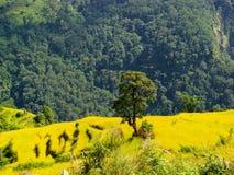 Ландшафт Гималаев Самостоятельно дерево с полем риса вокруг и горой стоковая фотография rf