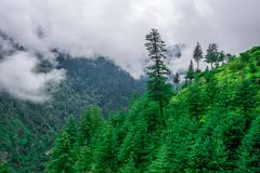 Ландшафт дерева в Гималаях, долины Deodar sainj, kullu, Himachal Pradesh, Индии стоковые изображения rf
