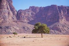 Ландшафт Джордана Сиротливое дерево в пустыне Ram вадей Стоковые Фотографии RF