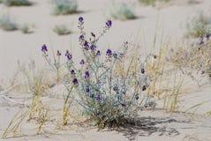 Ландшафт дюны пустыни с пурпурными цветками стоковые фотографии rf