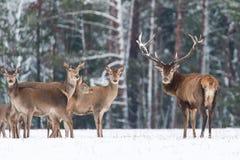 Ландшафт живой природы зимы Благородный Cervus Elaphus оленей 2 оленя в оленях леса зимы с большими рожками при снег смотря пришл стоковые фото