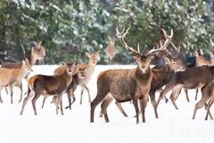 Ландшафт живой природы зимы с благородным Cervus Elaphus оленей Много оленей в зиме Олени с большими рожками с снегом на переднем стоковое фото rf