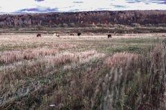 Ландшафт живописной осени деревенский, пасущ коров, склоняя поле, луг на предпосылке дня леса солнечного на Стоковое Изображение RF
