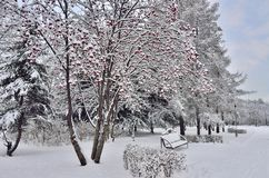Ландшафт зимы в парке города с стендом под rowanberry tr Стоковые Изображения RF