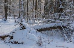 Ландшафт зимы главным образом лиственного леса в свете захода солнца стоковое фото