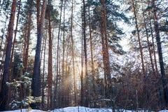Ландшафт зимы соснового леса стоковая фотография