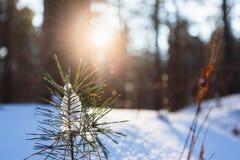 Ландшафт зимы соснового леса стоковые изображения rf