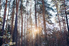 Ландшафт зимы соснового леса стоковое фото rf