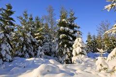 Ландшафт зимы с снегом покрыл ели Стоковая Фотография RF
