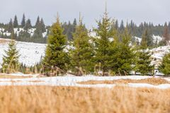 Ландшафт зимы с соснами Стоковое Изображение RF