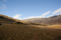 Ландшафт и скотины Snowdonia Стоковое Изображение