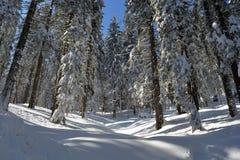 Ландшафт леса ели зимы Хоботы и ветви ели покрытые с снегом След лыжи через снежный лес Стоковое Изображение RF