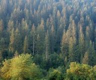 Ландшафт леса на горном склоне гор Карпатов, западной Украине Ели, сосна и лиственница на холме Украинец одичалый стоковые фото