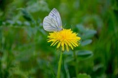 Ландшафт лета белизна бабочки на цветке одуванчик Стоковое Изображение