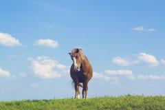 Ландшафт лета сельский с пасти коричневую лошадь на луге Стоковые Фото
