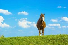 Ландшафт лета сельский с пасти коричневую лошадь на луге Стоковое Изображение