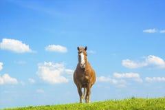 Ландшафт лета сельский с пасти коричневую лошадь на луге Стоковое фото RF