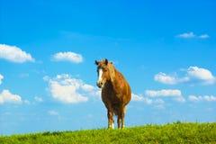 Ландшафт лета сельский с пасти коричневую лошадь на луге Стоковое Изображение RF