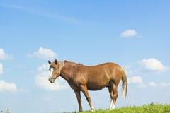 Ландшафт лета сельский с пасти коричневую лошадь на луге Стоковые Изображения