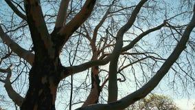 Ландшафт лета со старым деревом без листьев в парке и Солнца в ветвях Prores, замедленное движение сток-видео