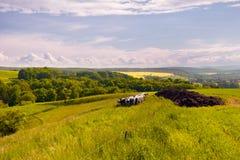 Ландшафт лета с коровами Стоковое Изображение RF