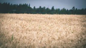 Ландшафт лета с пшеничным полем и облаками - винтажным effe фильма Стоковые Фотографии RF