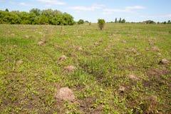 Ландшафт Много anthills в поле Май 2018 стоковые фотографии rf