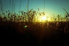 Ландшафт овсов и одичалых цветков во время захода солнца Стоковое Изображение RF