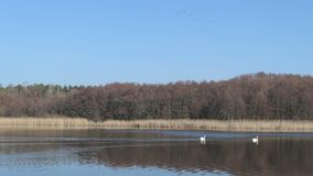Ландшафт озера в именах Wolzensee Бранденбурга Пары лебедя плавая вокруг стадо птиц крана на небе видеоматериал